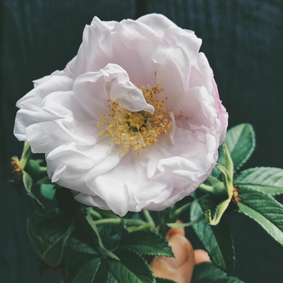 Simple Beauty Rose Series 2018 Vol 5